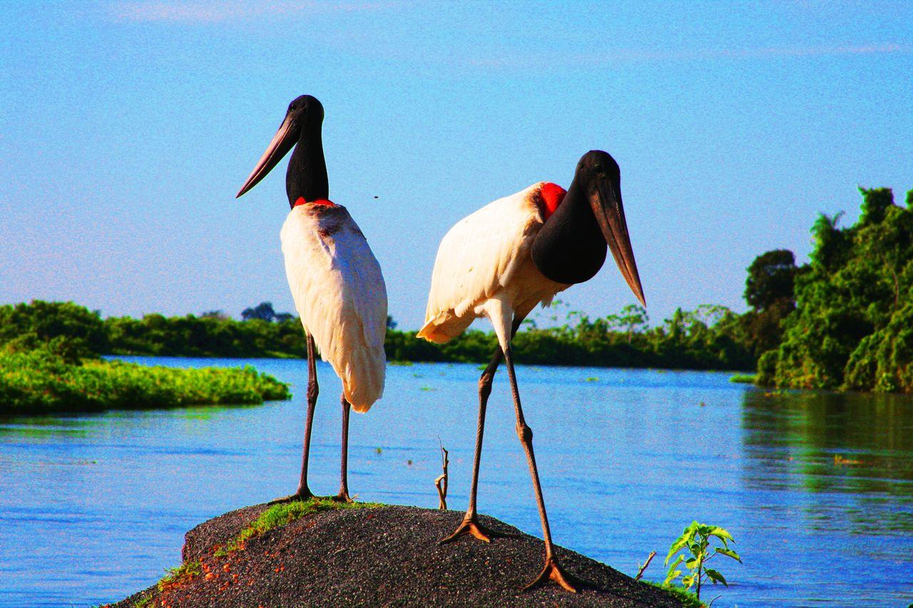 galeria-fauna-aves-do-pantanal